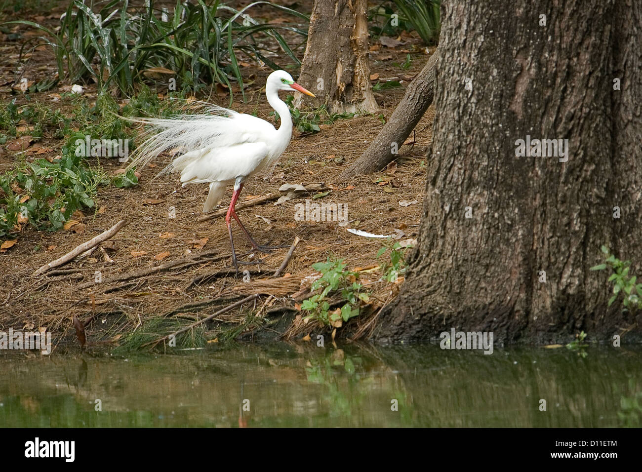Great egret male - Ardea alba - with lacy white breeding plumage in woodland beside lake - Stock Image