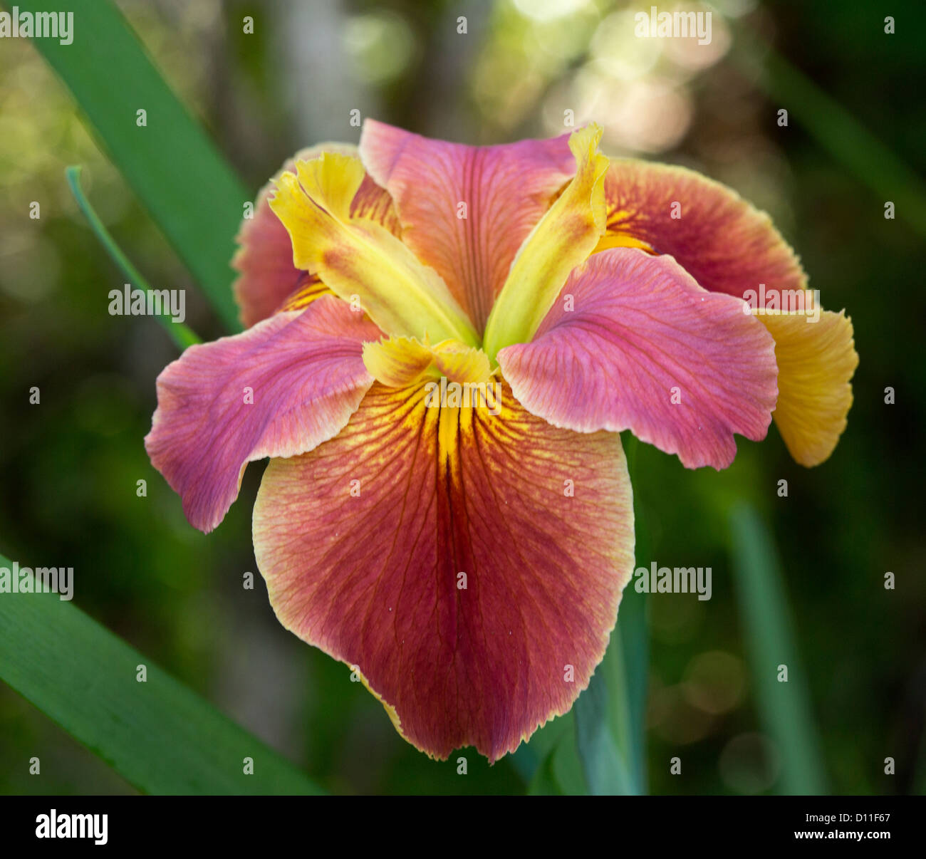 Louisiana iris flower with red and yellow petals and emerald green louisiana iris flower with red and yellow petals and emerald green foliage izmirmasajfo Images