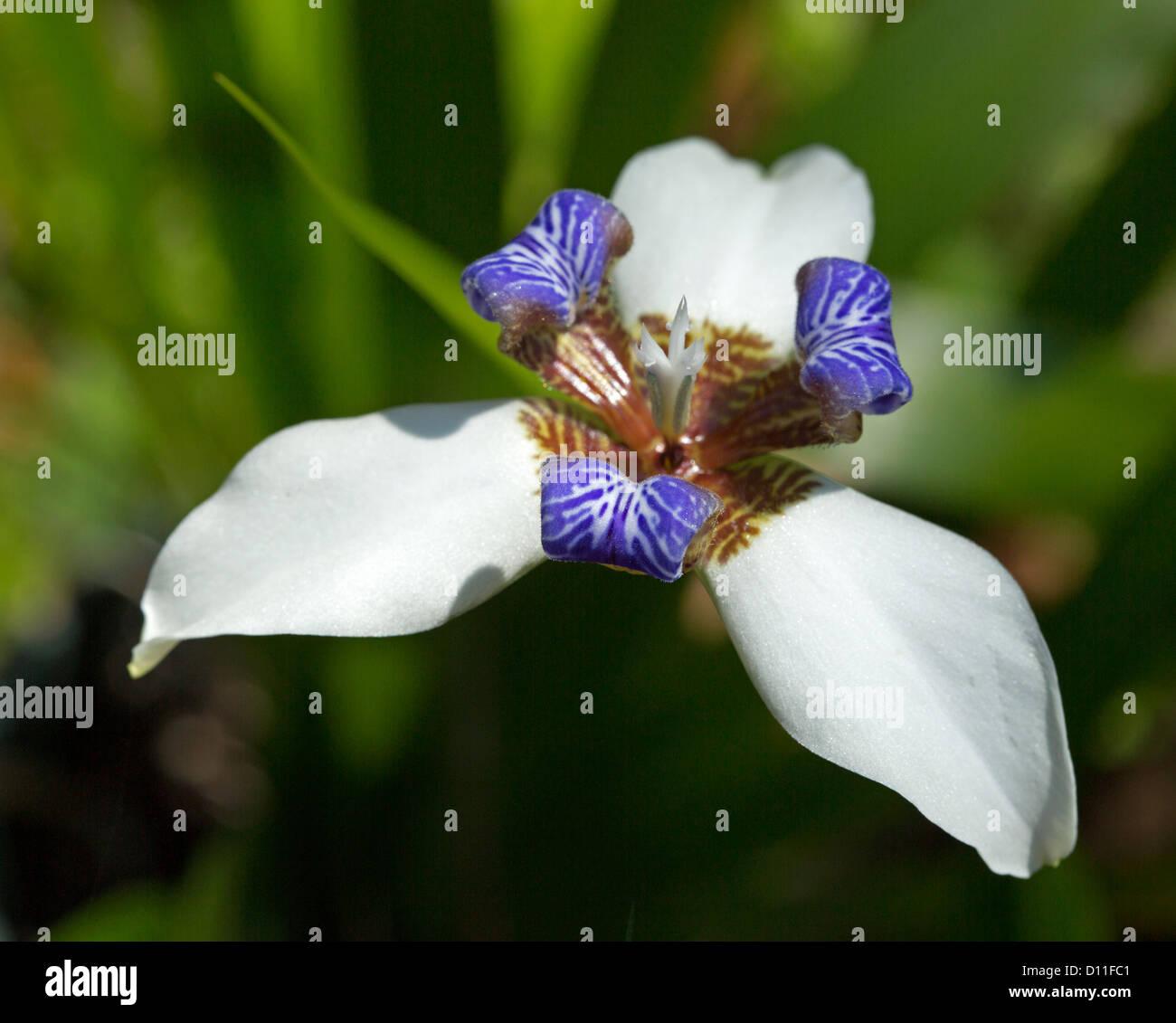 Walking iris stock photos walking iris stock images alamy neomarica gracilis walking iris blue and white flower of perennial garden plant izmirmasajfo