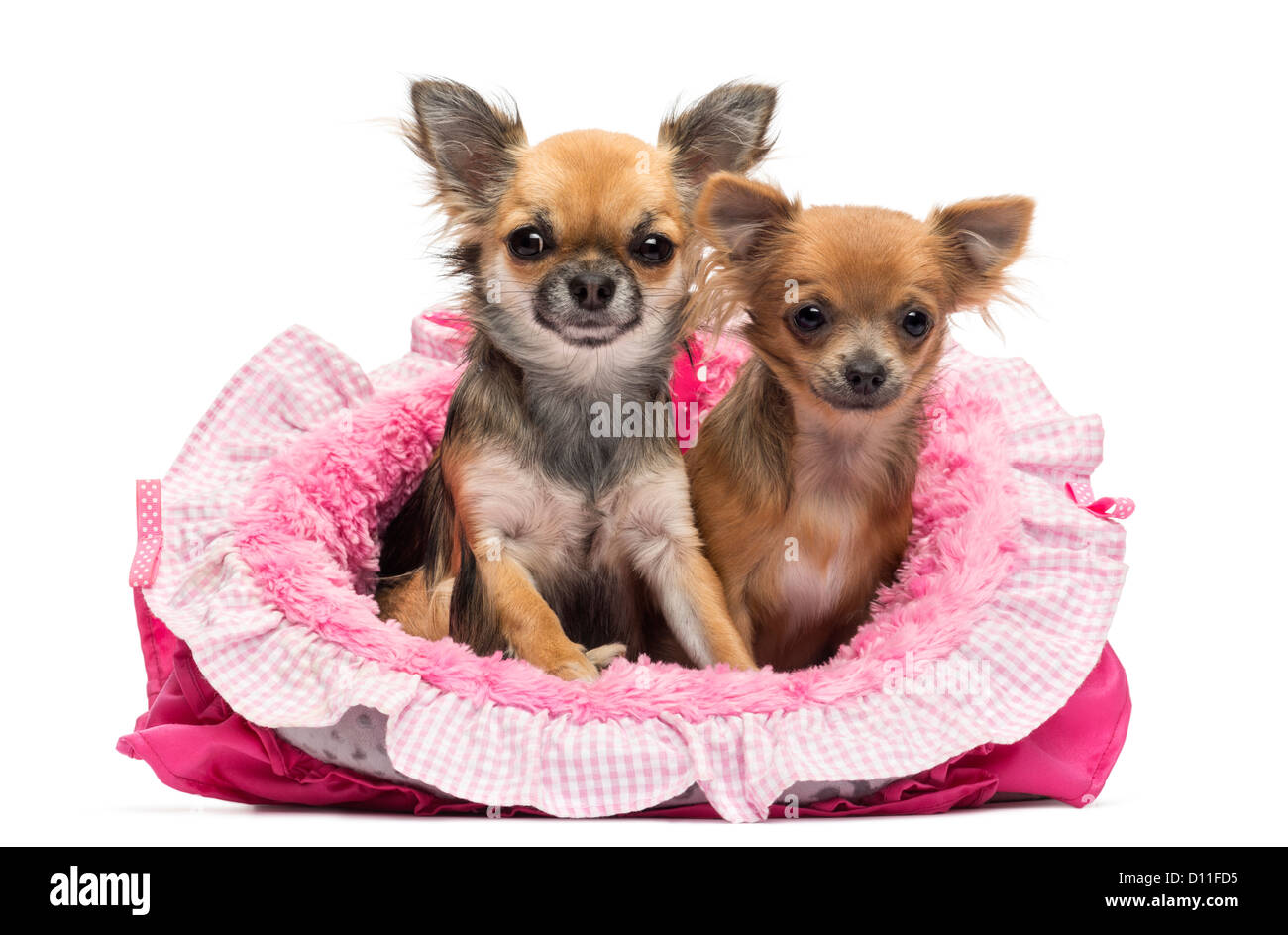 Chihuahuas sitting in a pink dog bed against white background - Stock Image