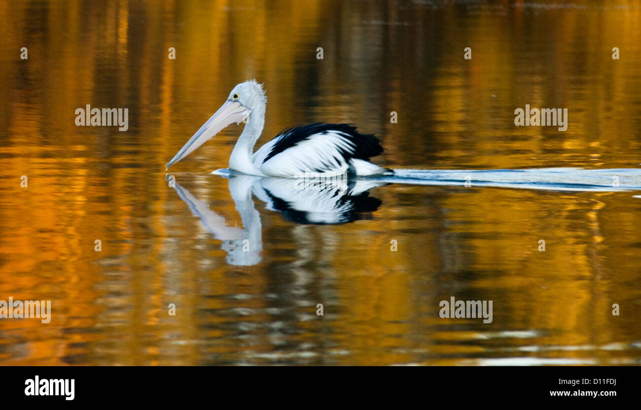 Pelican drifting on Wallis Lake reflected in golden water at sunrise - at Tuncurry, Great lakes region NSW Australia Stock Photo