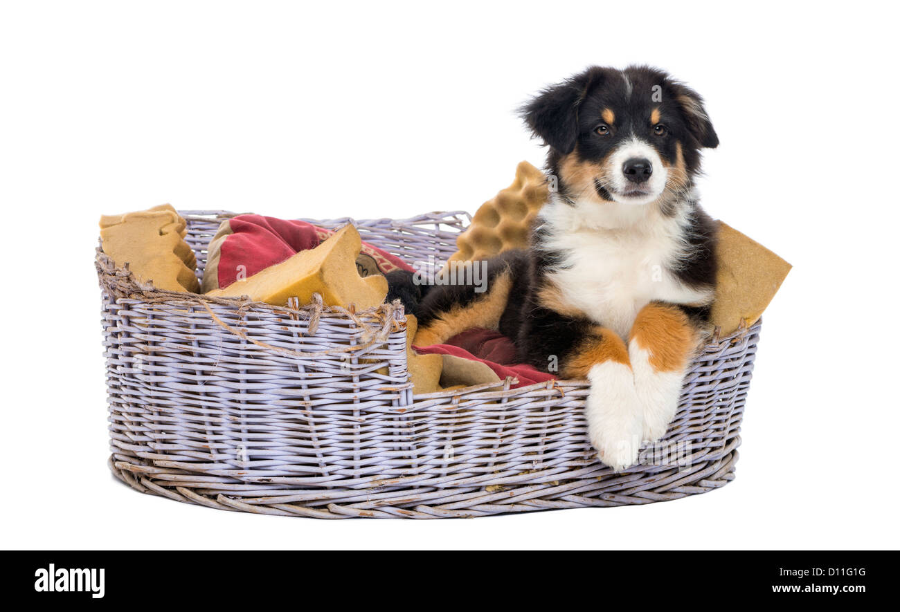 Australian Shepherd puppy, 3 months old, lying in dog bed against white background - Stock Image