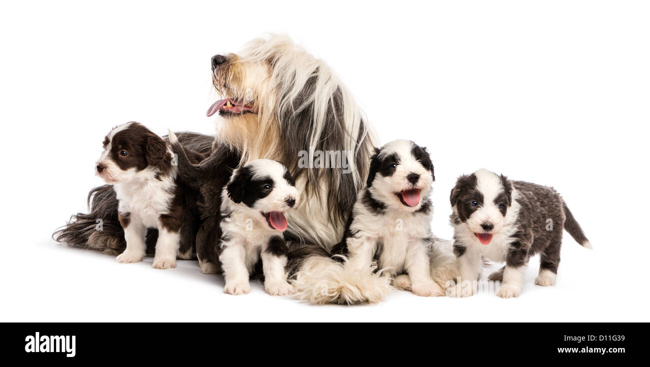 Bearded Collie puppies, 6 weeks old, sitting around their mother against white background - Stock Image