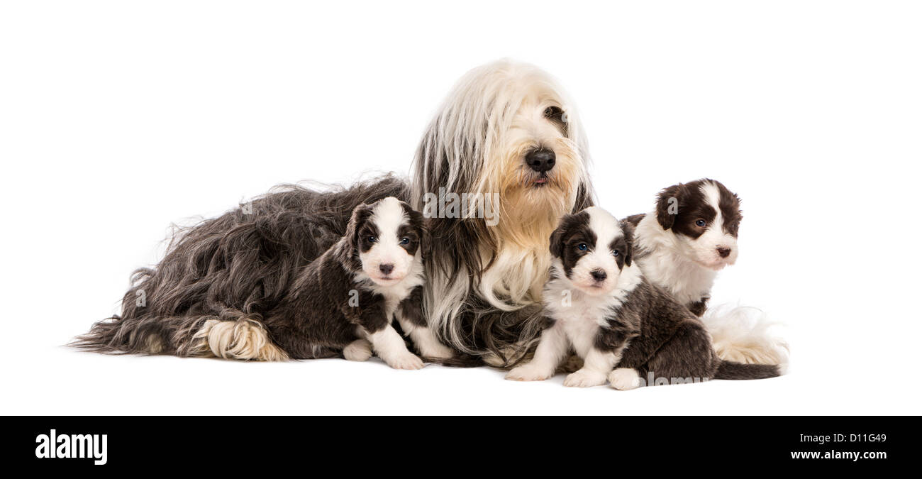 Bearded Collie puppies, 6 weeks old, lying around their mother against white background - Stock Image