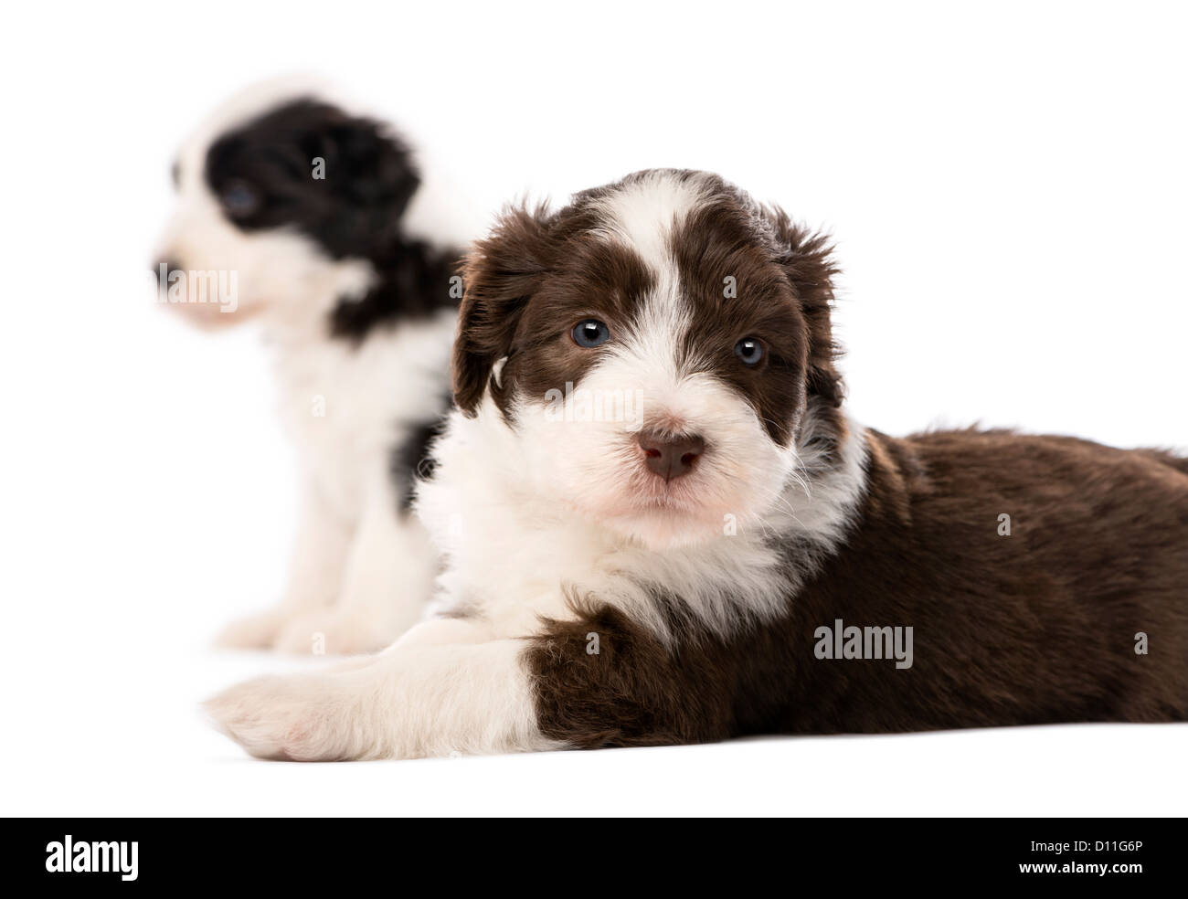 Bearded Collie puppies, 6 weeks old, sitting and lying against white background - Stock Image