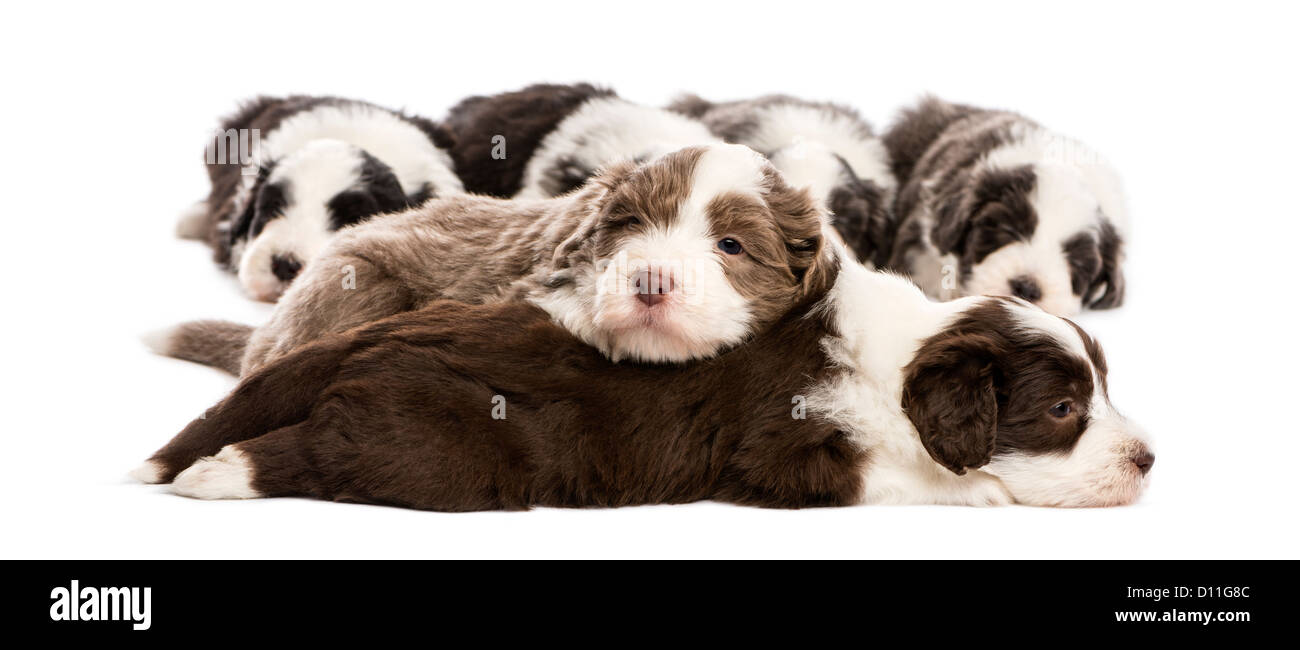 Group of Bearded Collie puppies, 6 weeks old, sleeping against white background - Stock Image