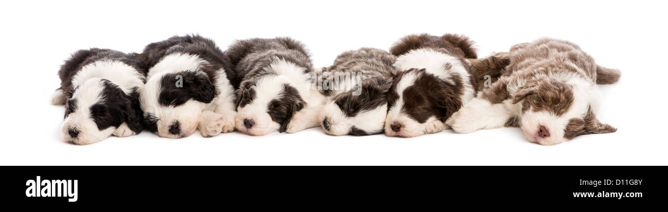 Group of Bearded Collie puppies, 6 weeks old, sleeping in a row against white background - Stock Image