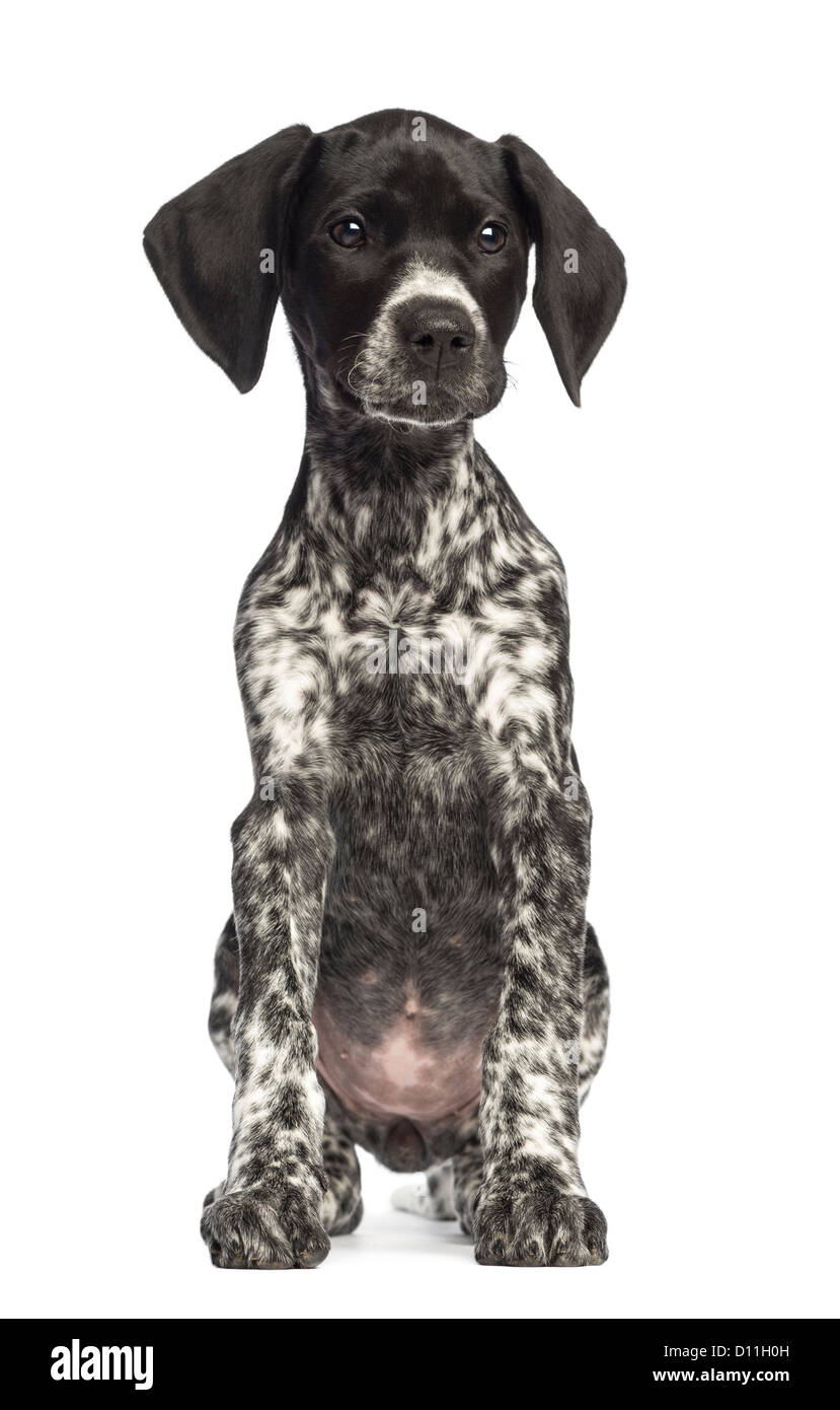 German Shorthaired Pointer, 10 weeks old, against white background - Stock Image