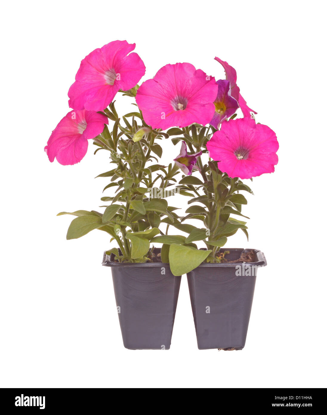 Pack of two pink-flowered petunia seedlings ready for transplanting - Stock Image