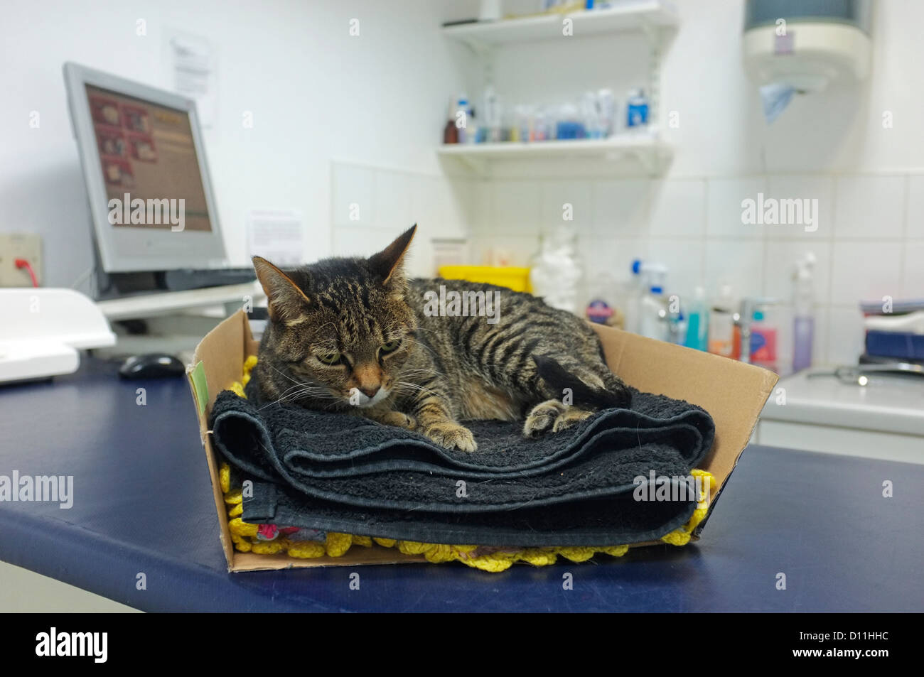 An injured cat just brought into the vets surgery. - Stock Image