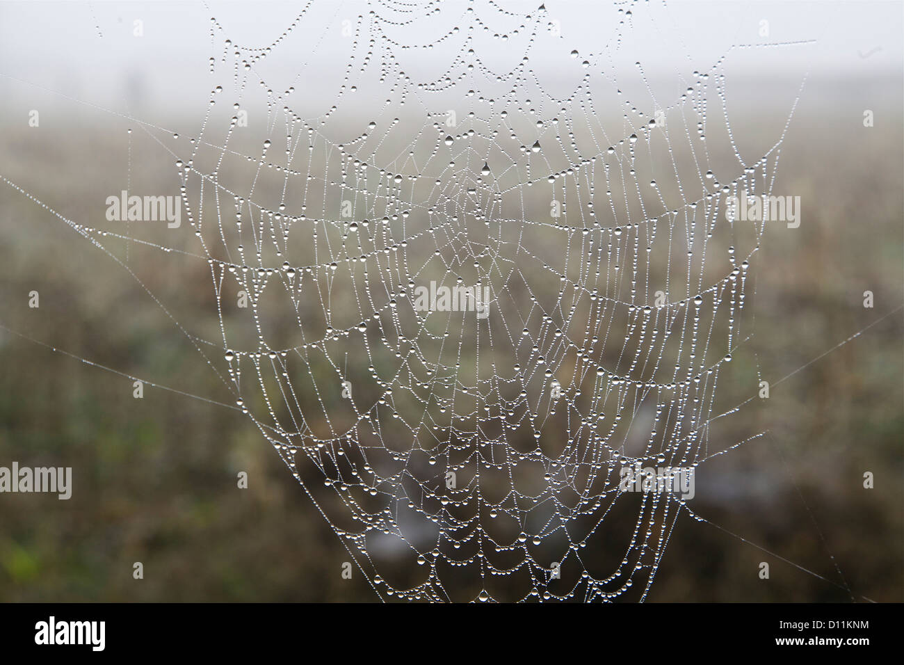 Rain droplets on the spider web like bead on lace sparkle in the light - Stock Image