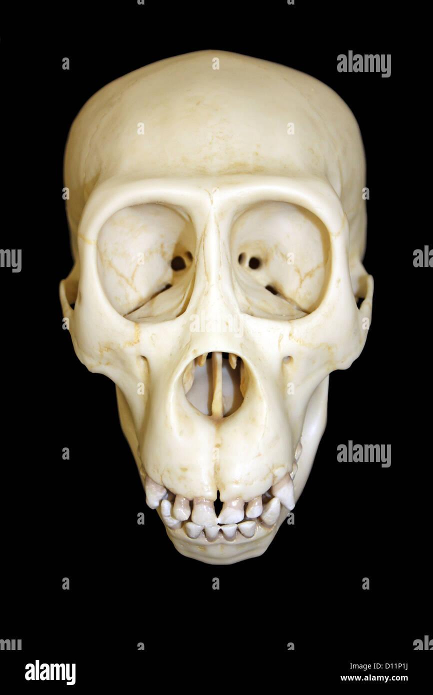 Gorilla Skeleton Stock Photos & Gorilla Skeleton Stock Images - Alamy
