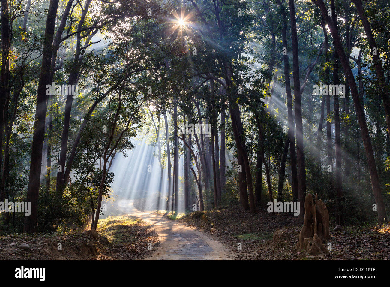 India, Uttarakhand, View of forest with shala trees at Jim Corbett National Park - Stock Image