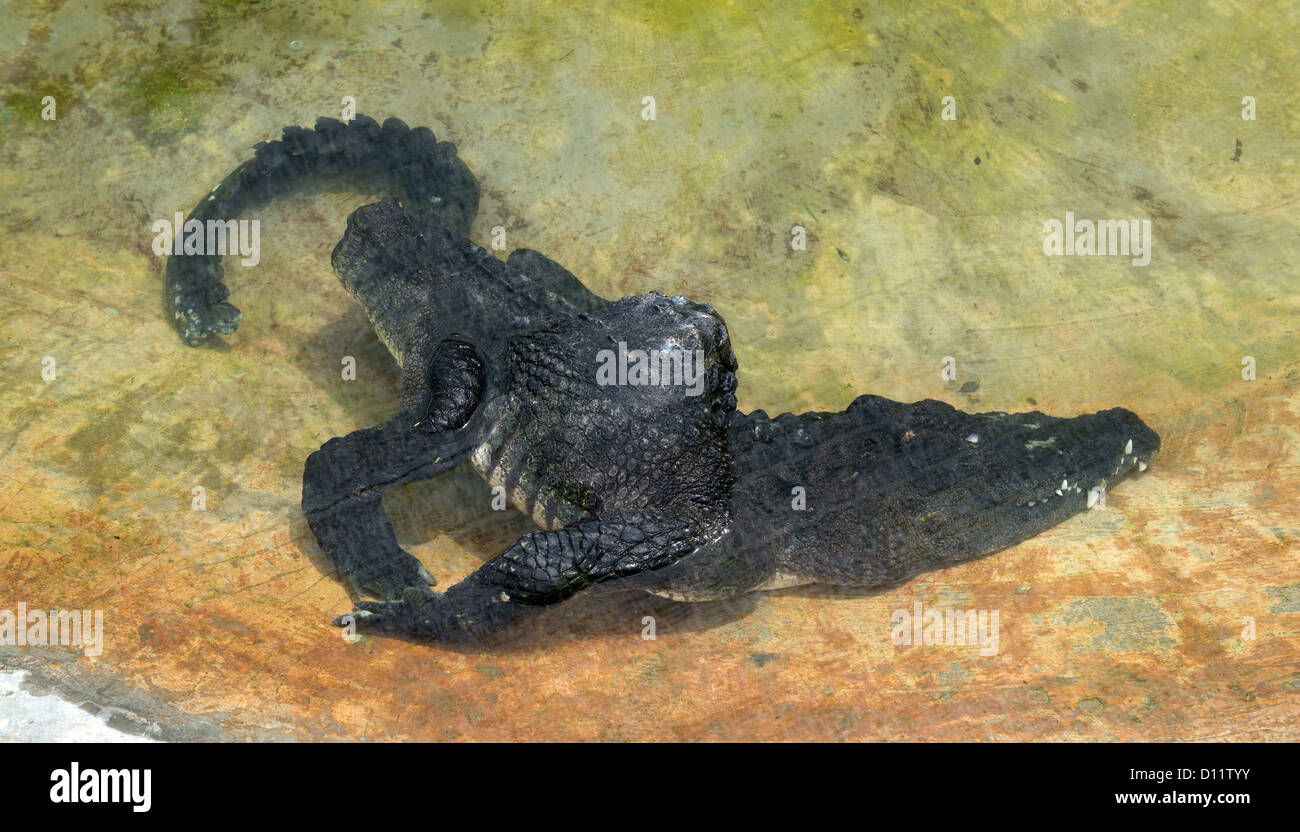 Acrippled crocodile is pictured at the crocodile farm in the Island of Langkawi, Malaysia, 12 November 2012. - Stock Image