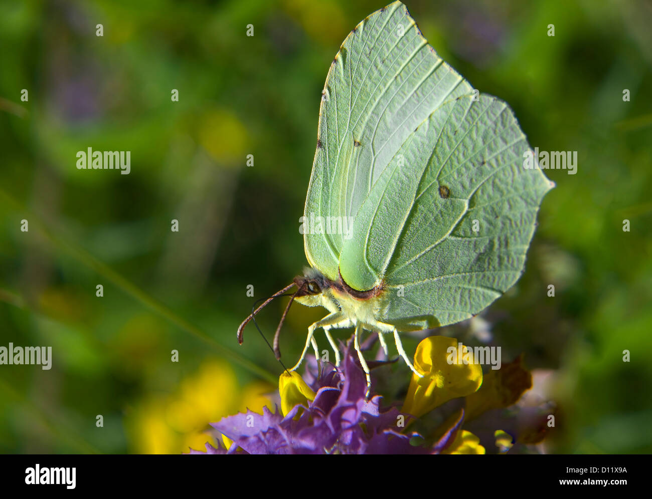 Yellow butterfly feeding on flowers - Stock Image