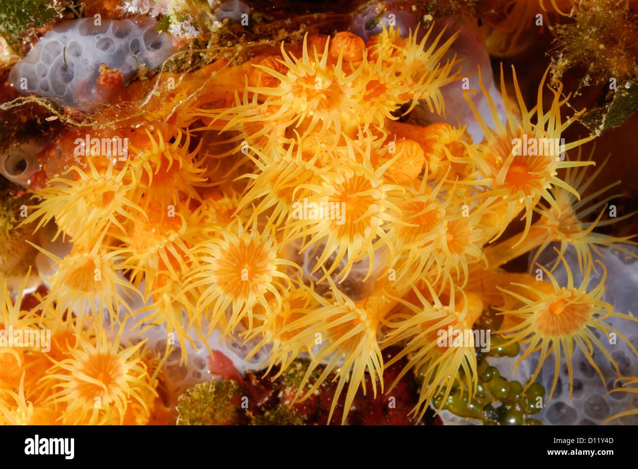 Yellow cluster anemon Parazoanthus axinellae, colonial anthozoa, Celenterata, Capraia Island, Tuscany, Italy, Mediterranean - Stock Image