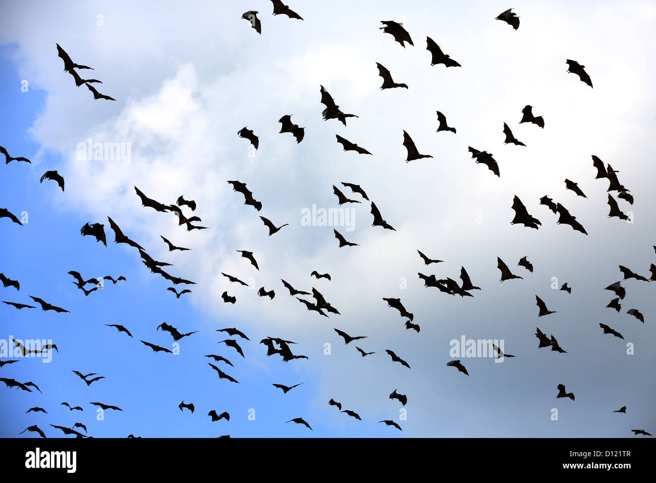 Fruit bats (flying foxes) fly overhead in Tissamaharama, Sri Lanka. Stock Photo