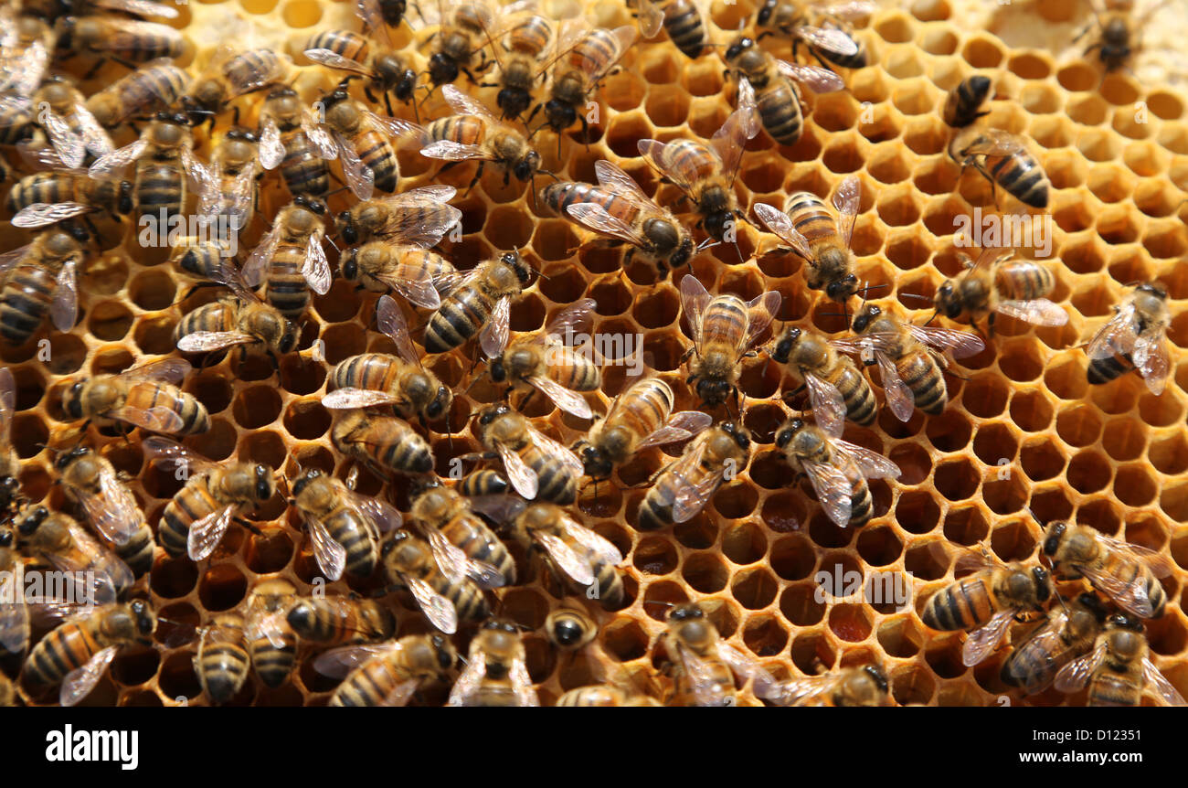 Honey Bees on a Frame From A Beehive Surrey England - Stock Image