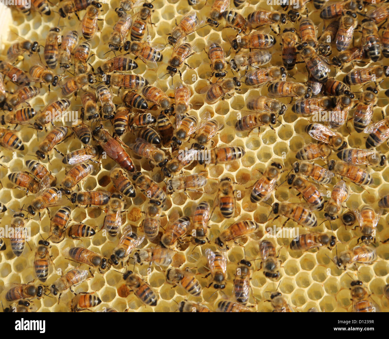 Queen Bee With Honey Bees on a Frame From A Beehive Surrey England - Stock Image