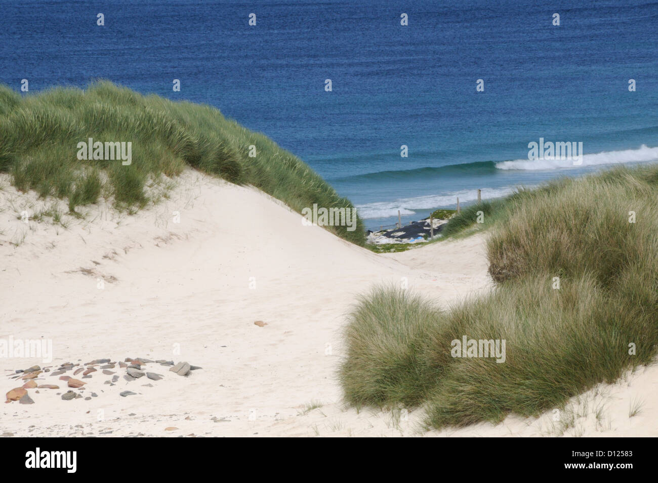 Marram grass growing  on sand dunes, Westray, Orkney, Scotland, UK. 30Jun10 - Stock Image