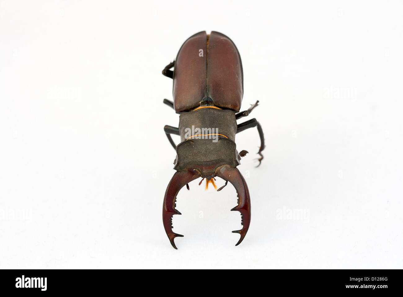 Close-up of big stag beetle (Lucanus cervus) - the largest beetle of Europa - Stock Image