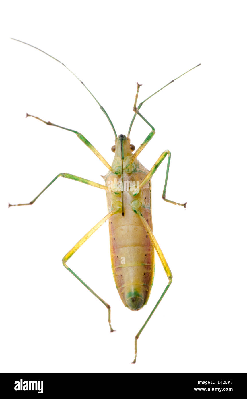 Assassin Bug Cut Out Stock Images & Pictures - Alamy