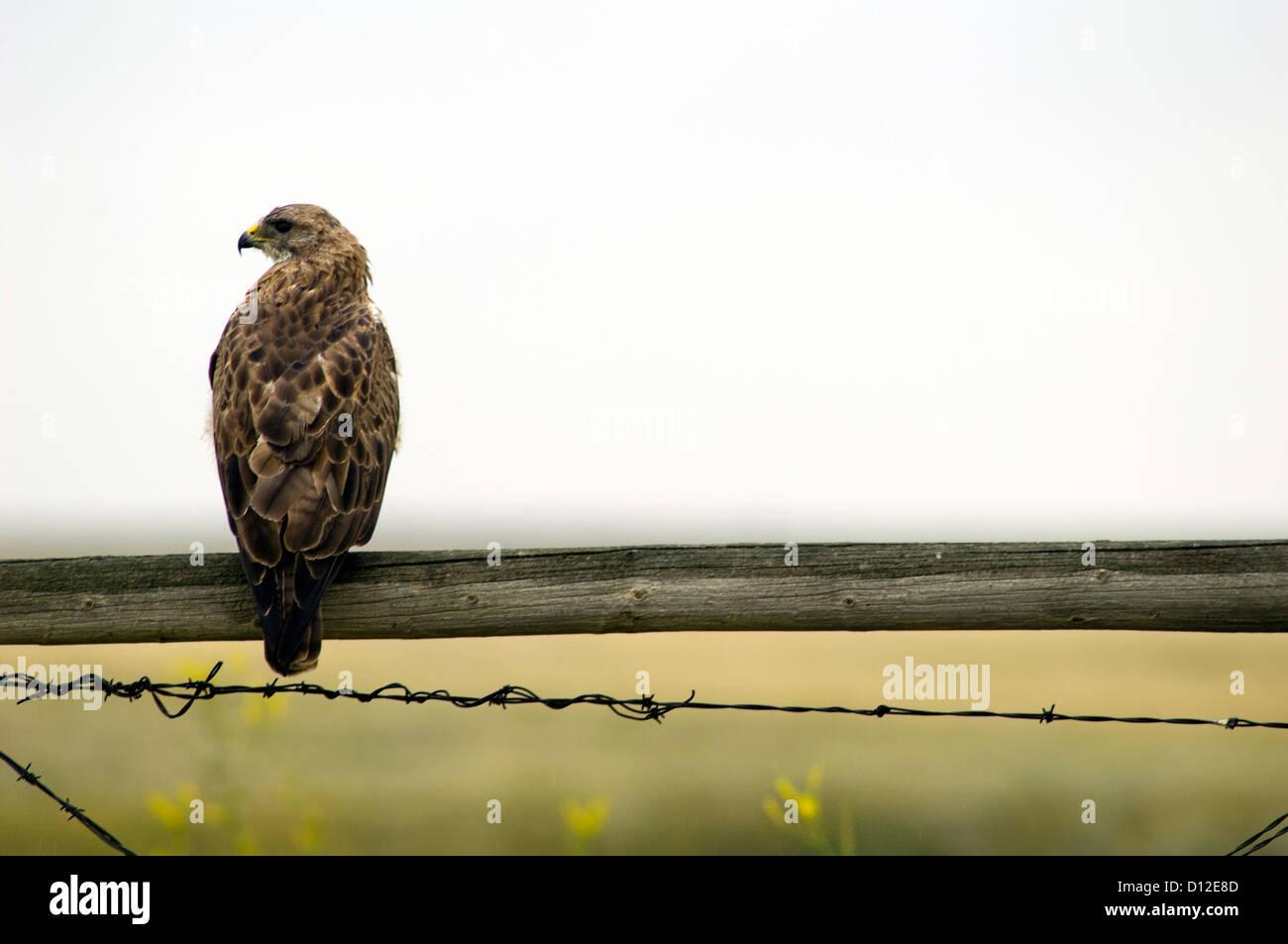 Hawk on fence pole. Saskatchewan, Canada. - Stock Image