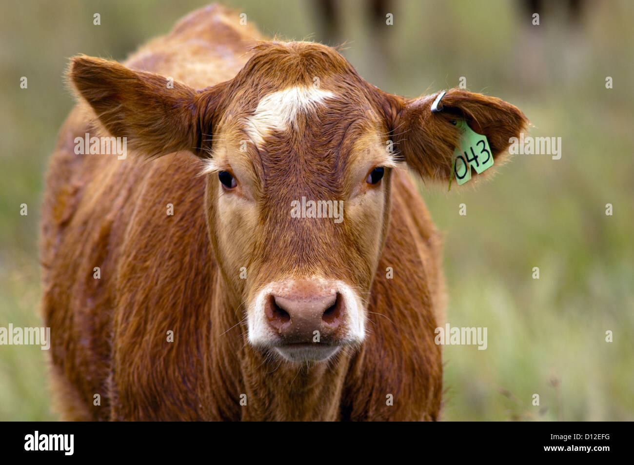 Cows grazing in field in south-central Alberta, Canada. Stock Photo