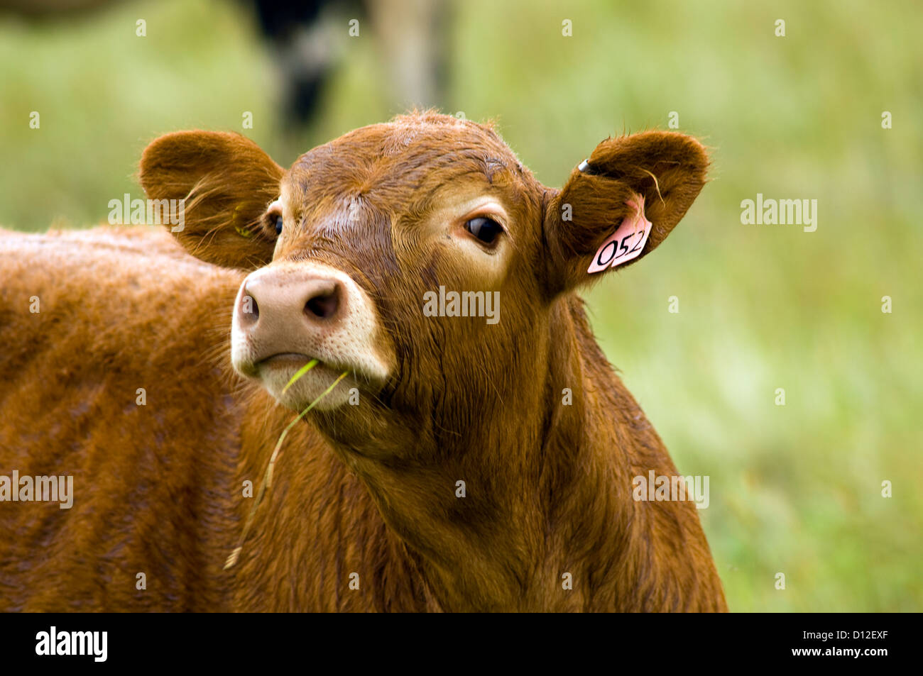 Cows grazing in field in south-central Alberta, Canada. Stock Photo