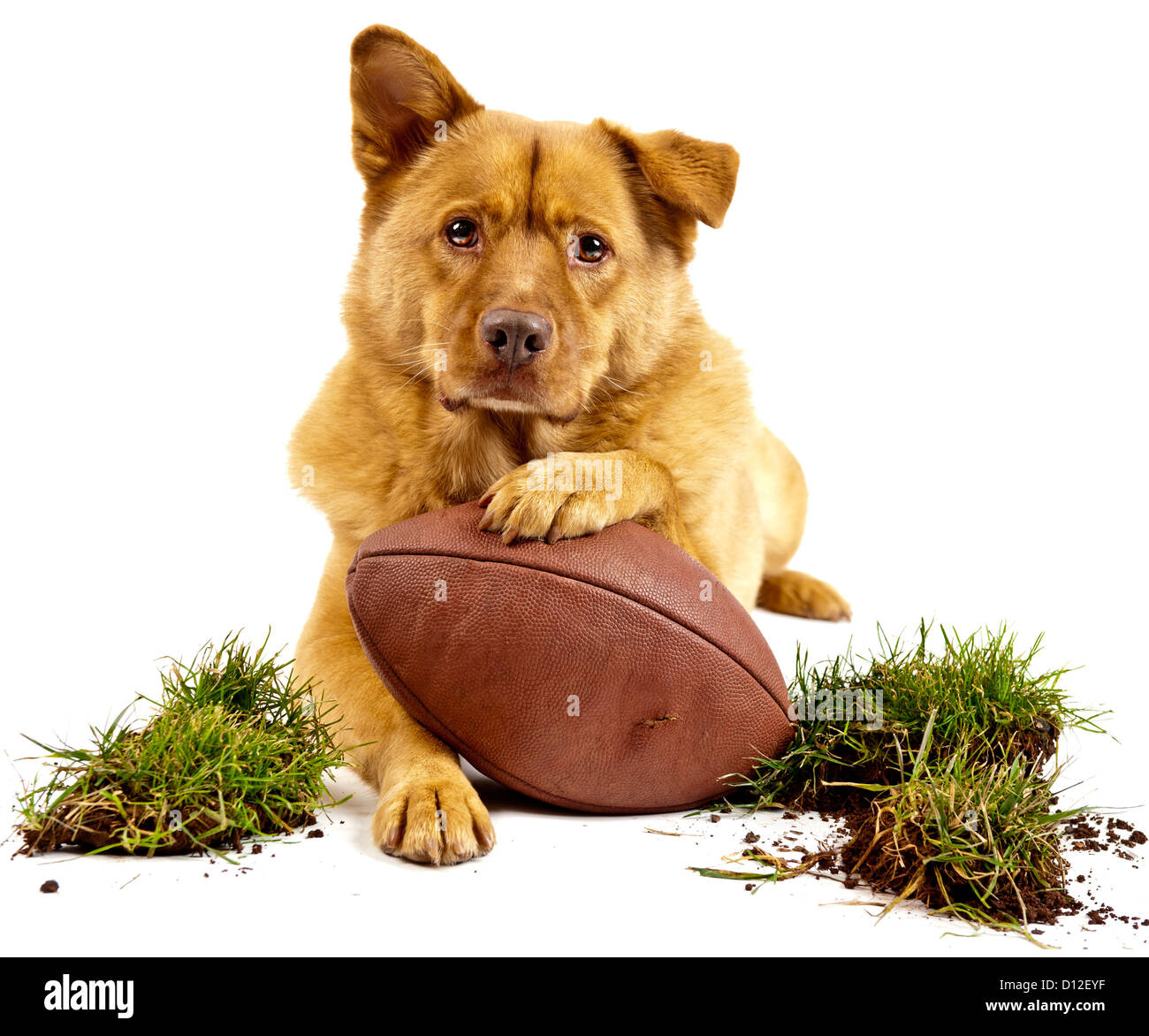 dog posing with football and grass turf. Isolated on white - Stock Image