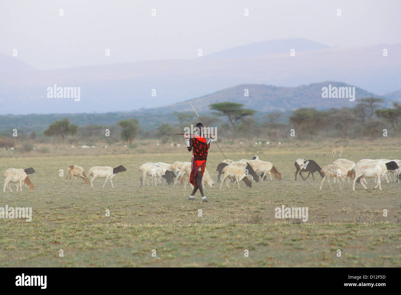 Masai shepherd with herd, Arusha region, Tanzania, Africa - Stock Image