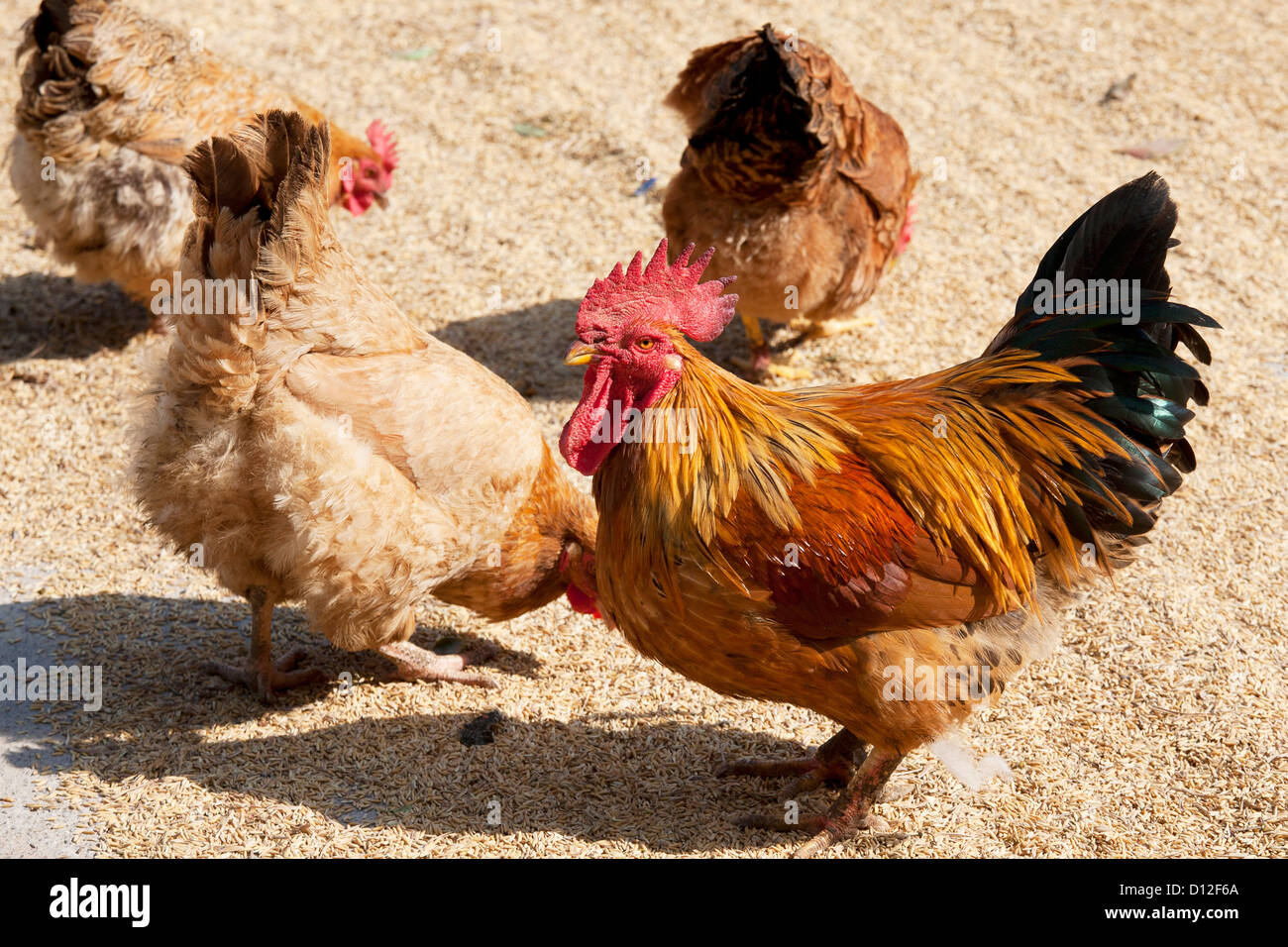 Chickens eating rice that is laid out to dry in Southern China - Stock Image