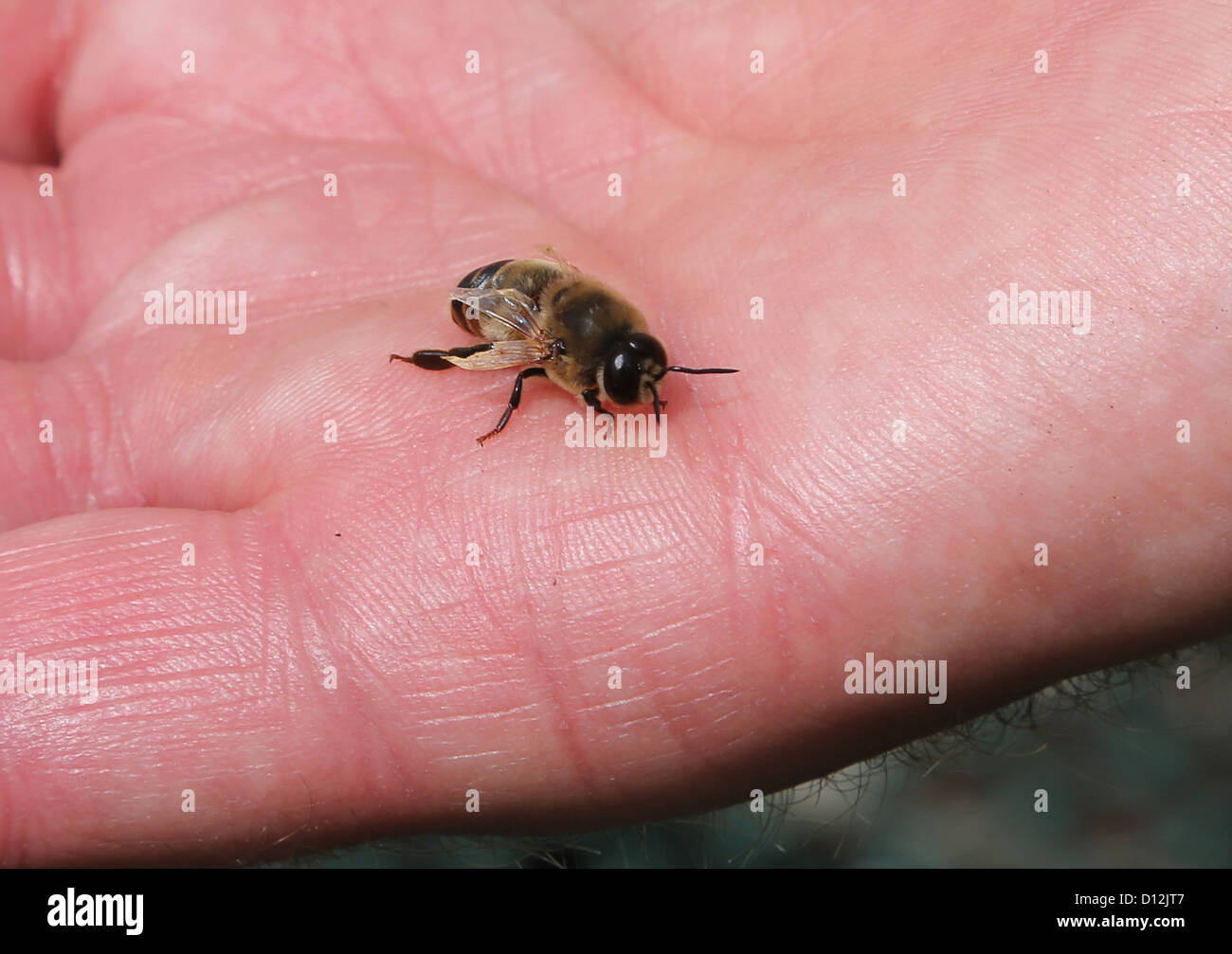 deformed bee with damaged wings a result of the 'Varroa' virus caused by the varroa mite surrey England - Stock Image