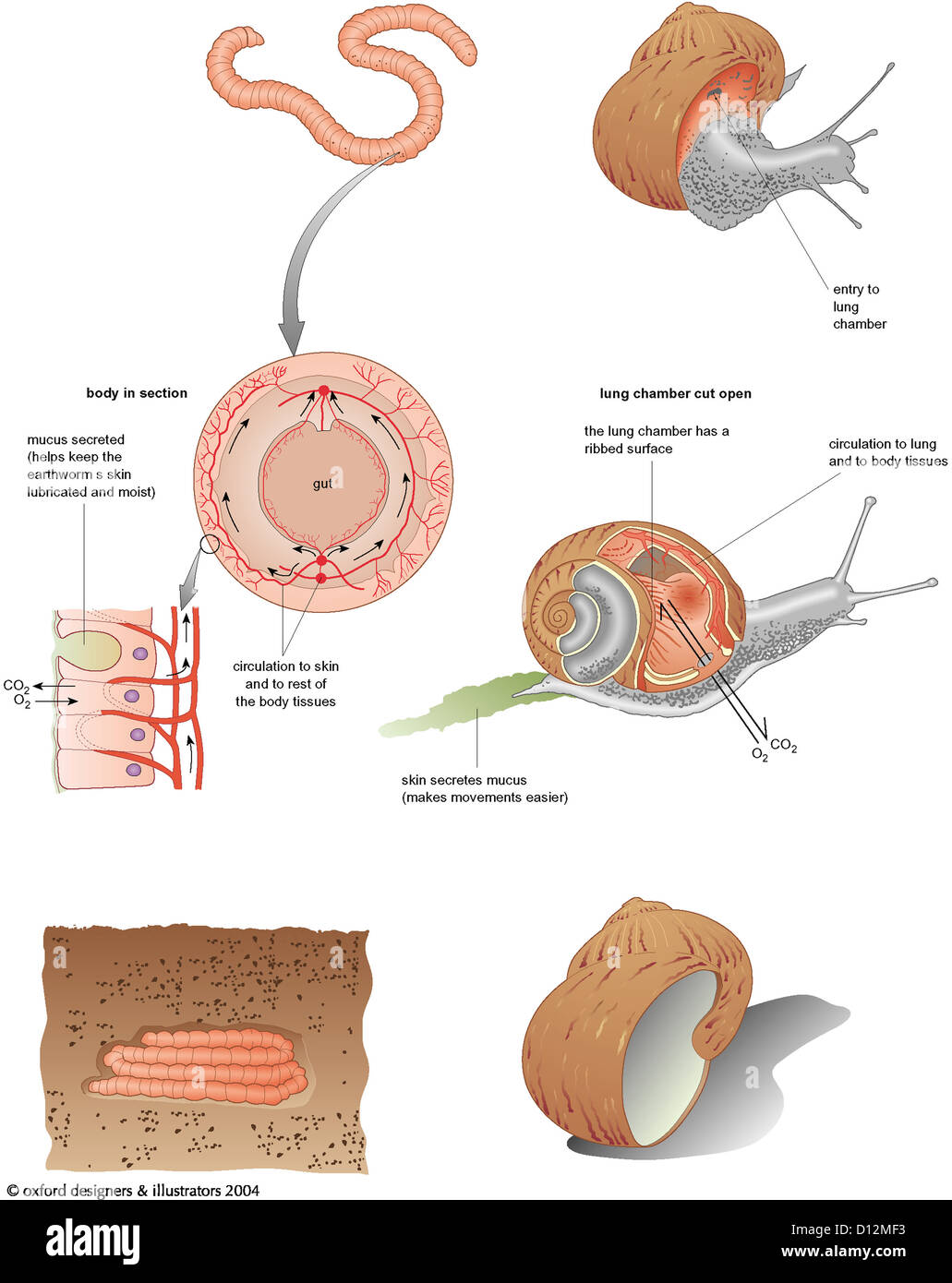 Anatomy Snail Stock Photos & Anatomy Snail Stock Images - Alamy