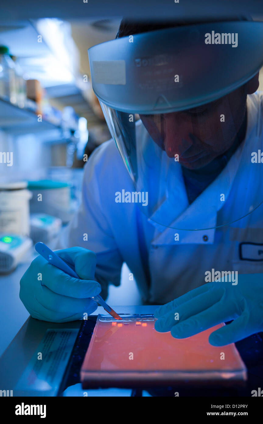 Scientist working over an ultraviolet light box during the preparation of an agarose electrophoresis gel used in - Stock Image