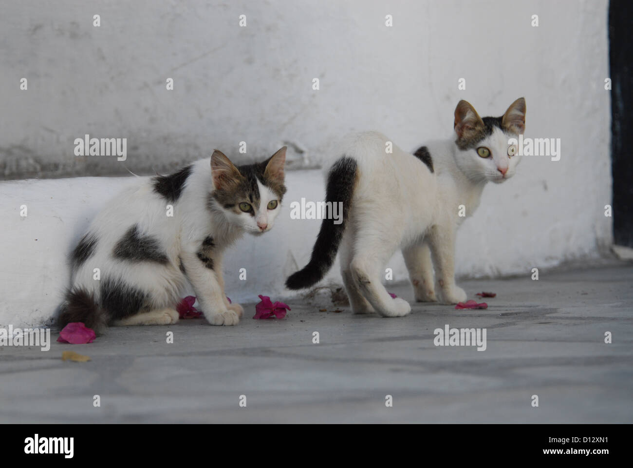 zwei junge Hauskätzchen, Weiss mit Punkten, Kykladen, Griechenland, two kittens, spotted, Cyclades, Greece, - Stock Image