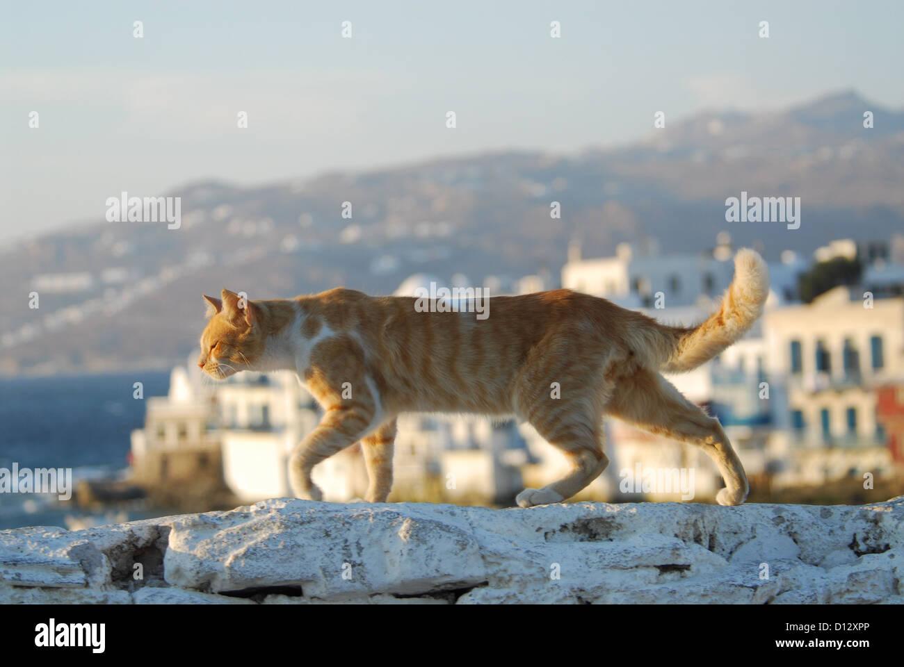 Hauskatze, Rot Tabby mit Weiss, geht im Abendlicht über eine Mauer mit Ausblick auf die Altstadt von Mykonos, - Stock Image