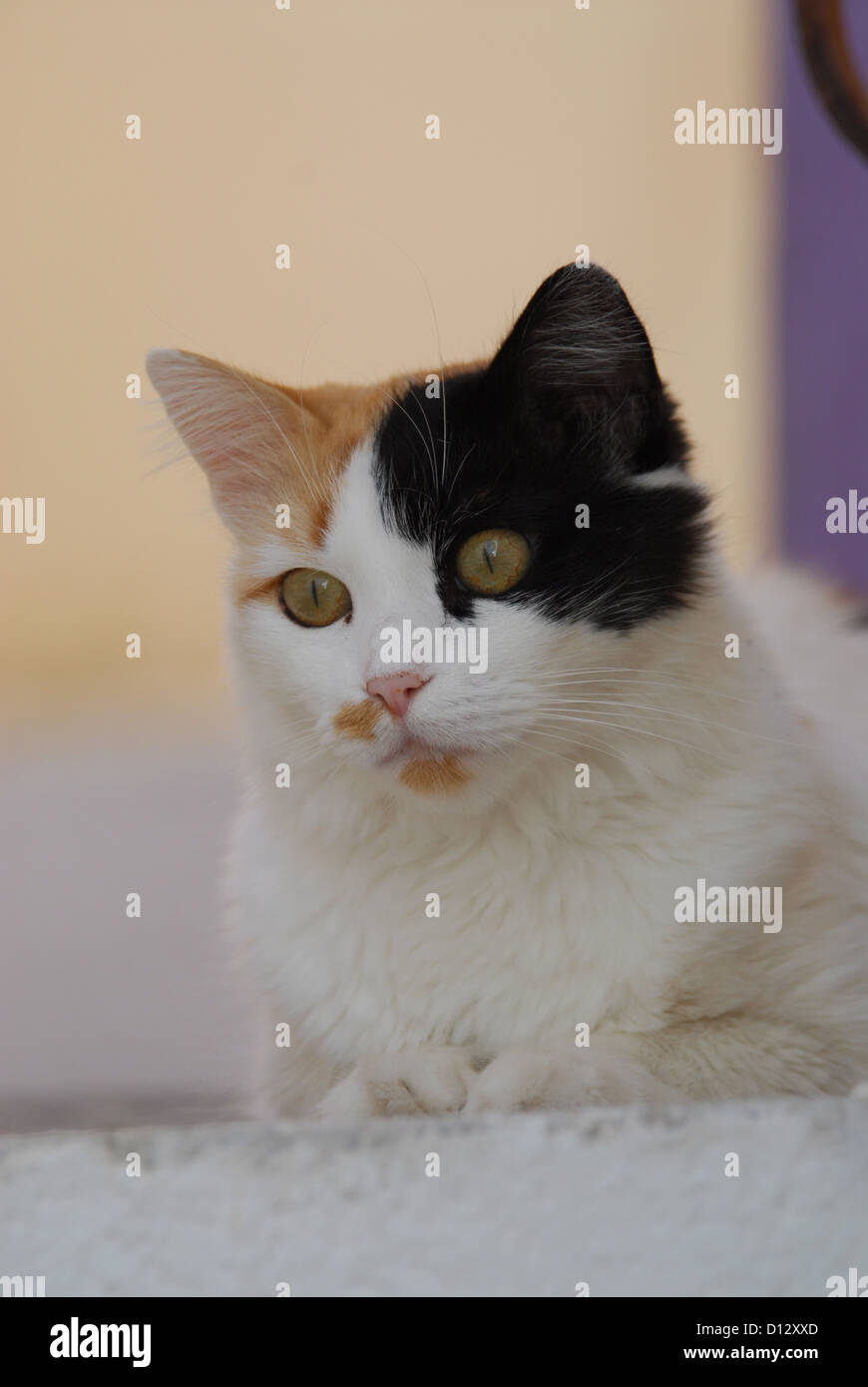 Hauskatze, Schildpatt mit Weiss, Portraet, Kykladen, Griechenland, cat, Tortie and White, portrait, Cyclades, Greece, Stock Photo