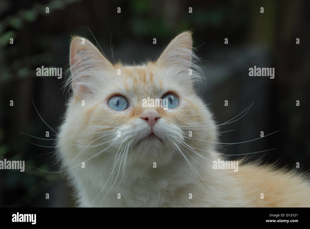 Hauskatze, Creme-Tabby-Point mit blauen Augen, Portraet, cat, Cream-Tabby-Point Blue-eyed, portrait, felis silvestris - Stock Image
