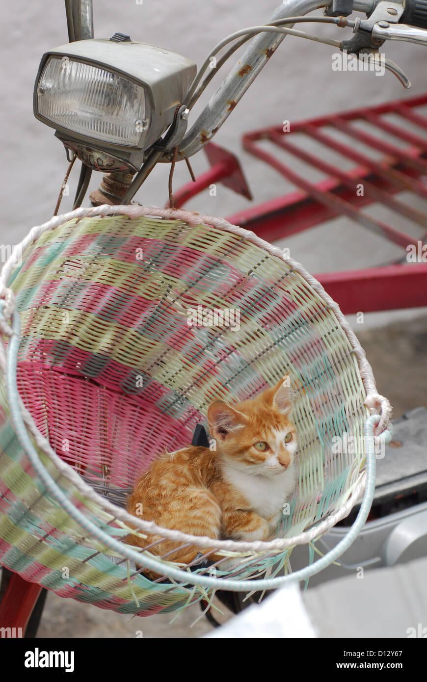 junges Hauskätzchen, Rot Tabby und Weiss, liegt in einem Fahrradkorb, Dodekanes, Griechenland, kitten, Red - Stock Image