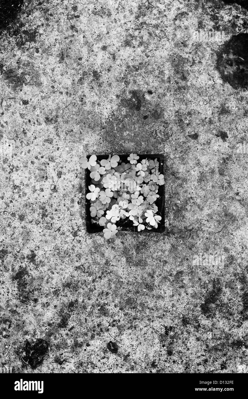 Overhead view of shamrocks on cement - Stock Image