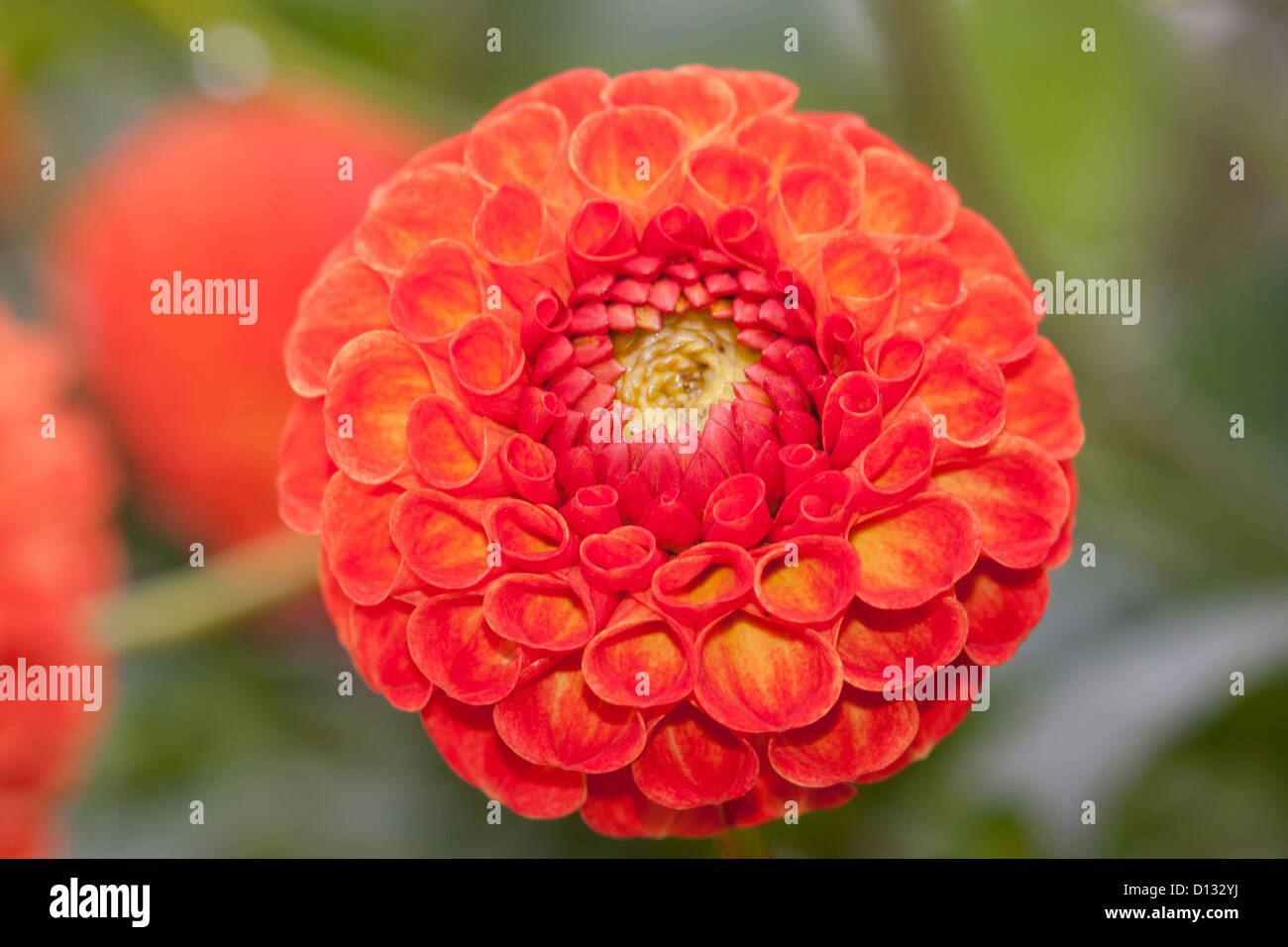 Dahlia pom pom orange flower plant dahlia stock photos dahlia pom gmlg13082251 close up of orange pom pom dahlia flower stock image izmirmasajfo