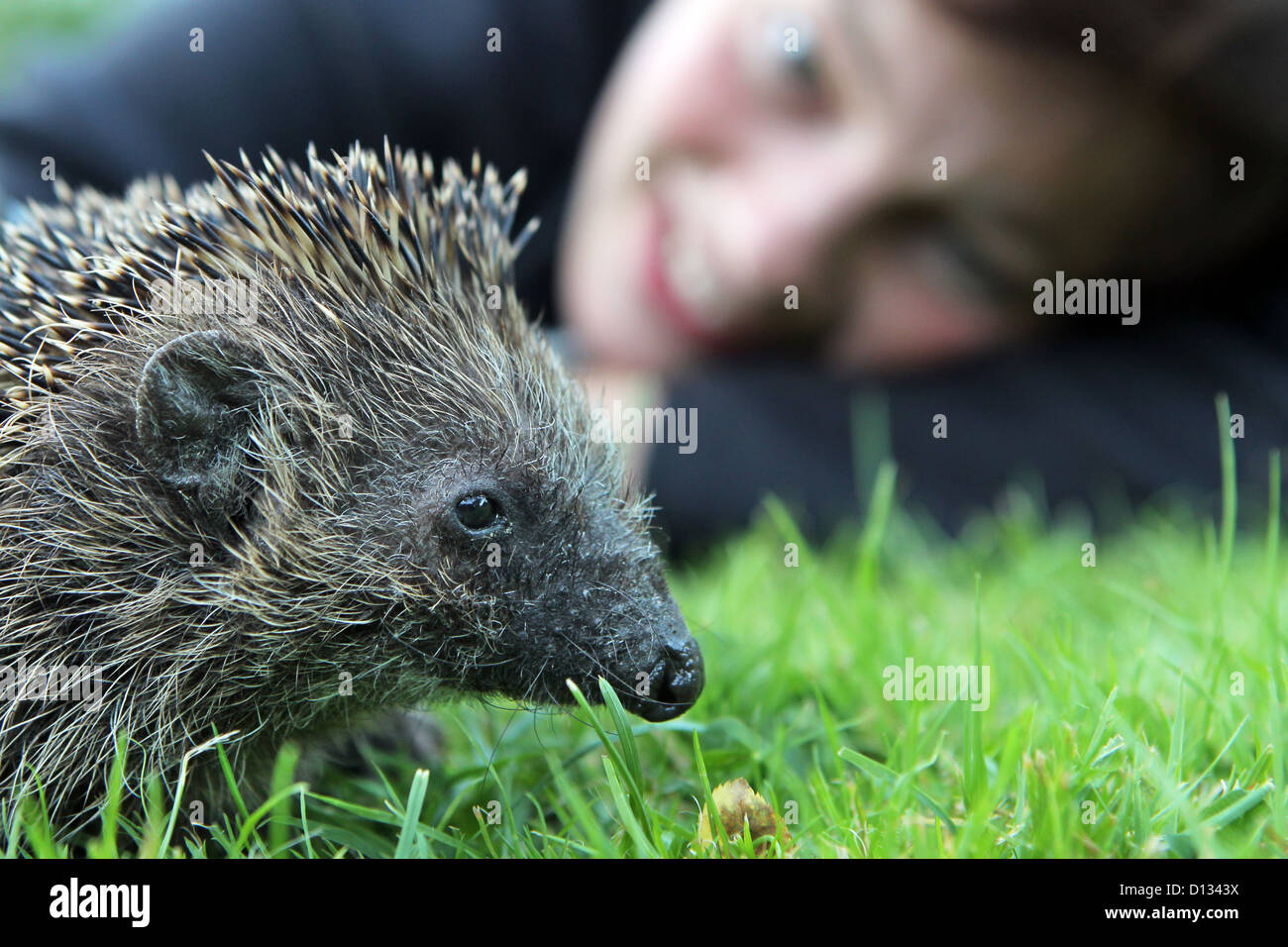 Wees. Germany, woman and hedgehog on a lawn - Stock Image