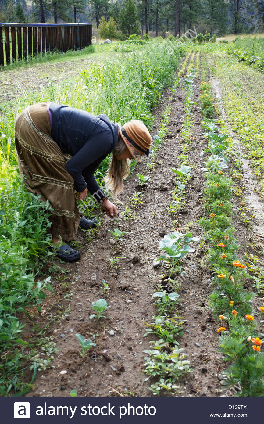 Mojave Kaplan Owner Of The Planting Seeds Project Weeds Her Organic Garden; Lytton British Columbia Canada - Stock Image