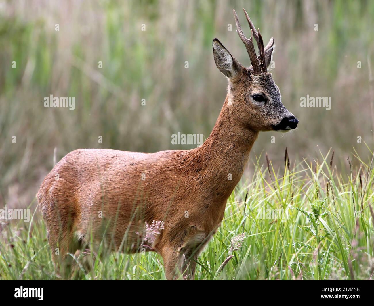 Male Roe Deer (Capreolus capreolus) seen in profile, deliberating flight or fight - Stock Image