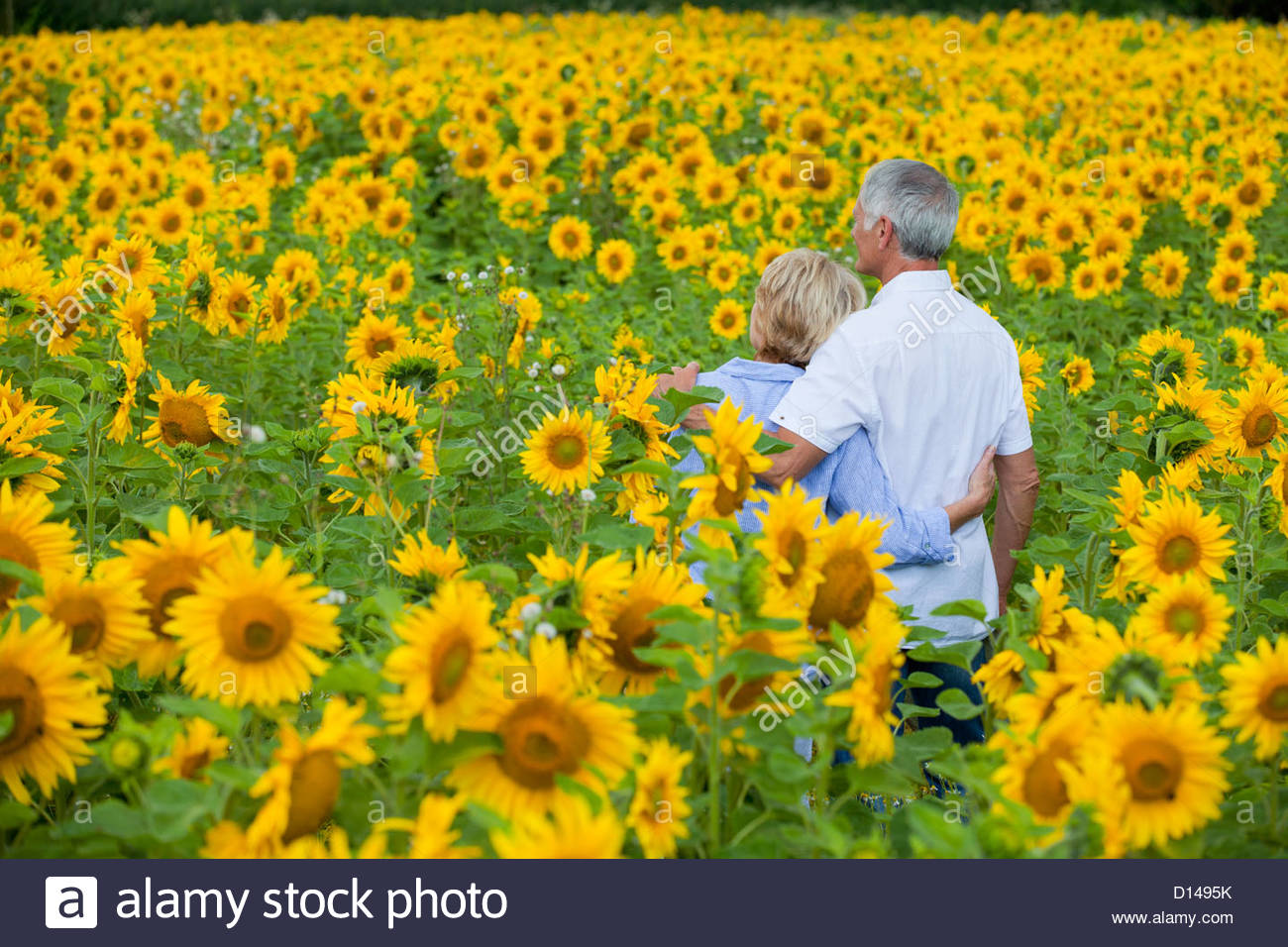 Couple hugging among sunflowers in sunny meadow - Stock Image