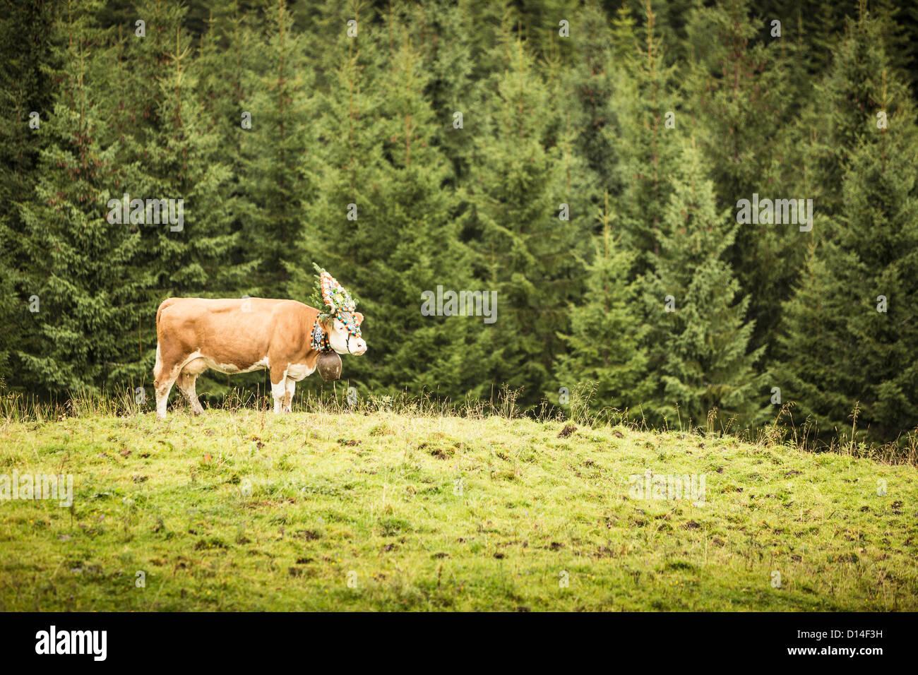 Cow wearing headdress in grassy field Stock Photo