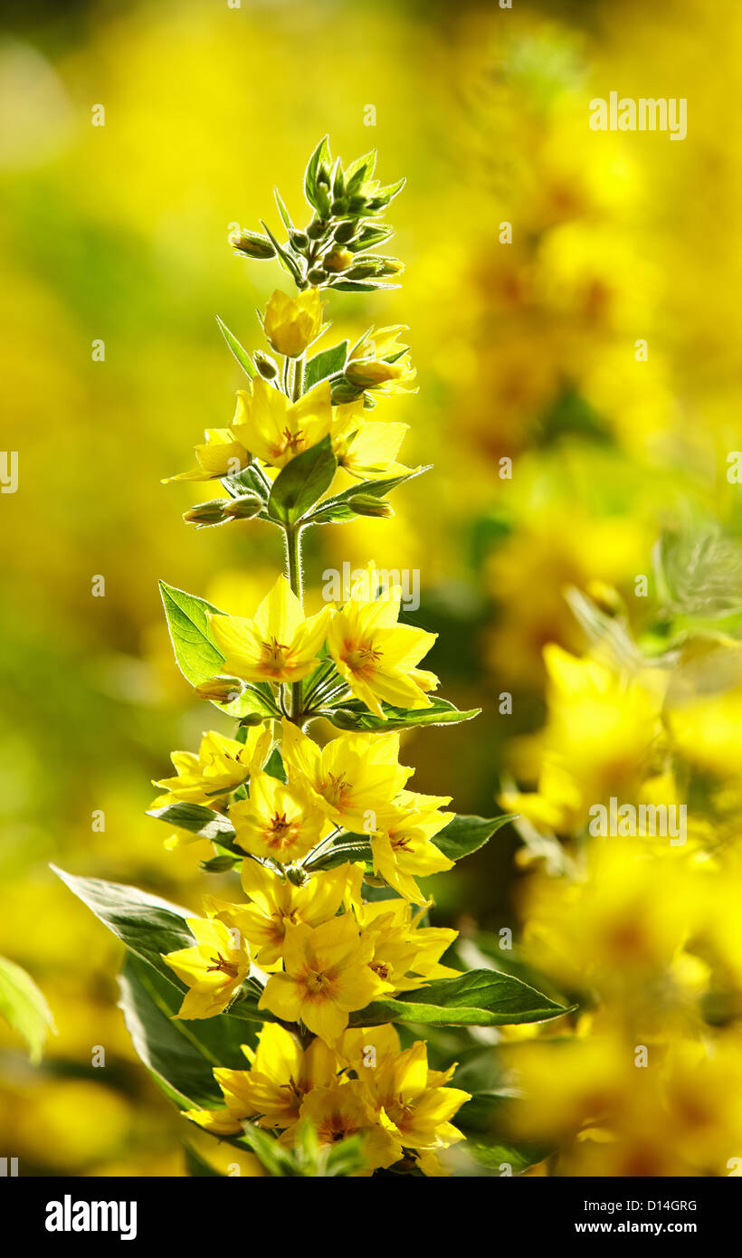 Stalk of yellow flowers outdoors - Stock Image