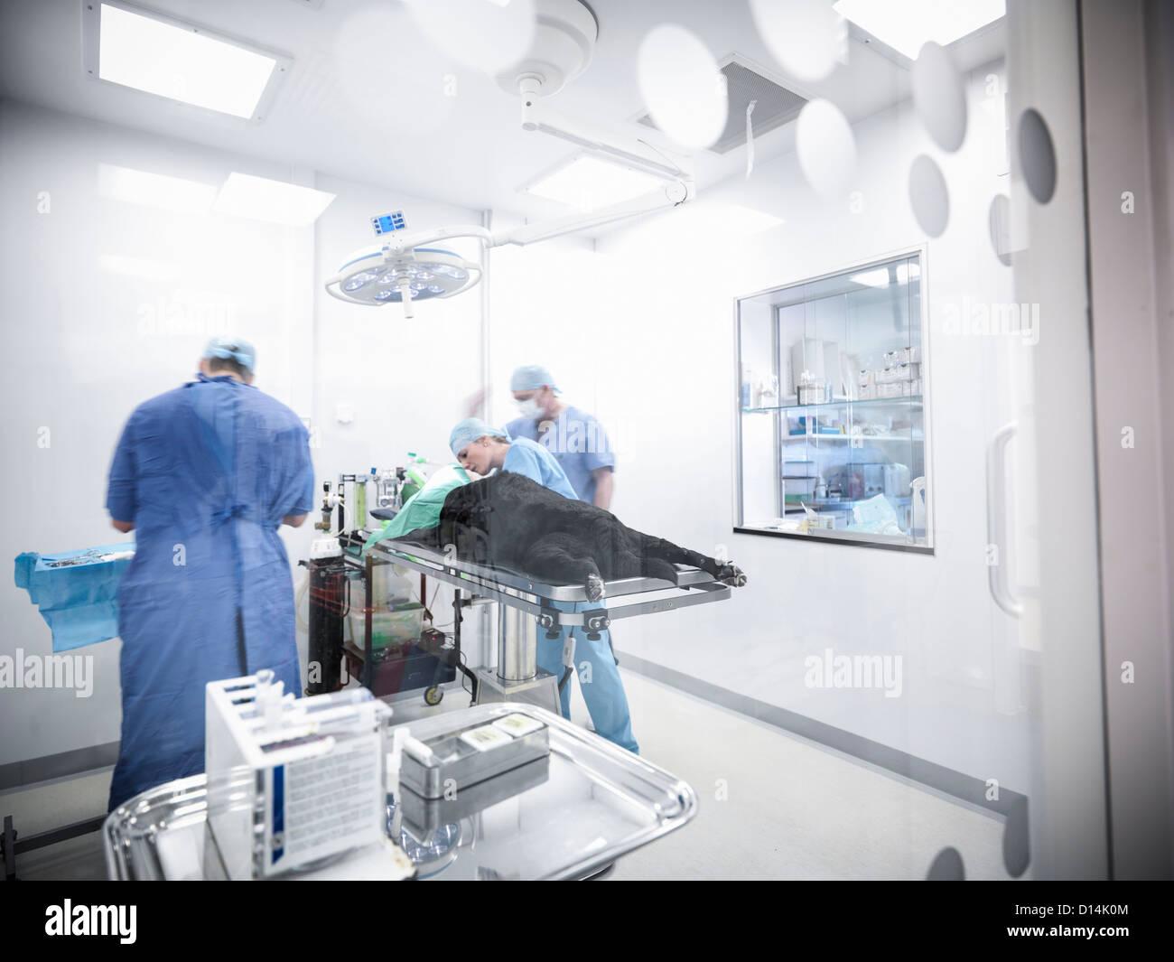 Veterinarians operating on dog - Stock Image