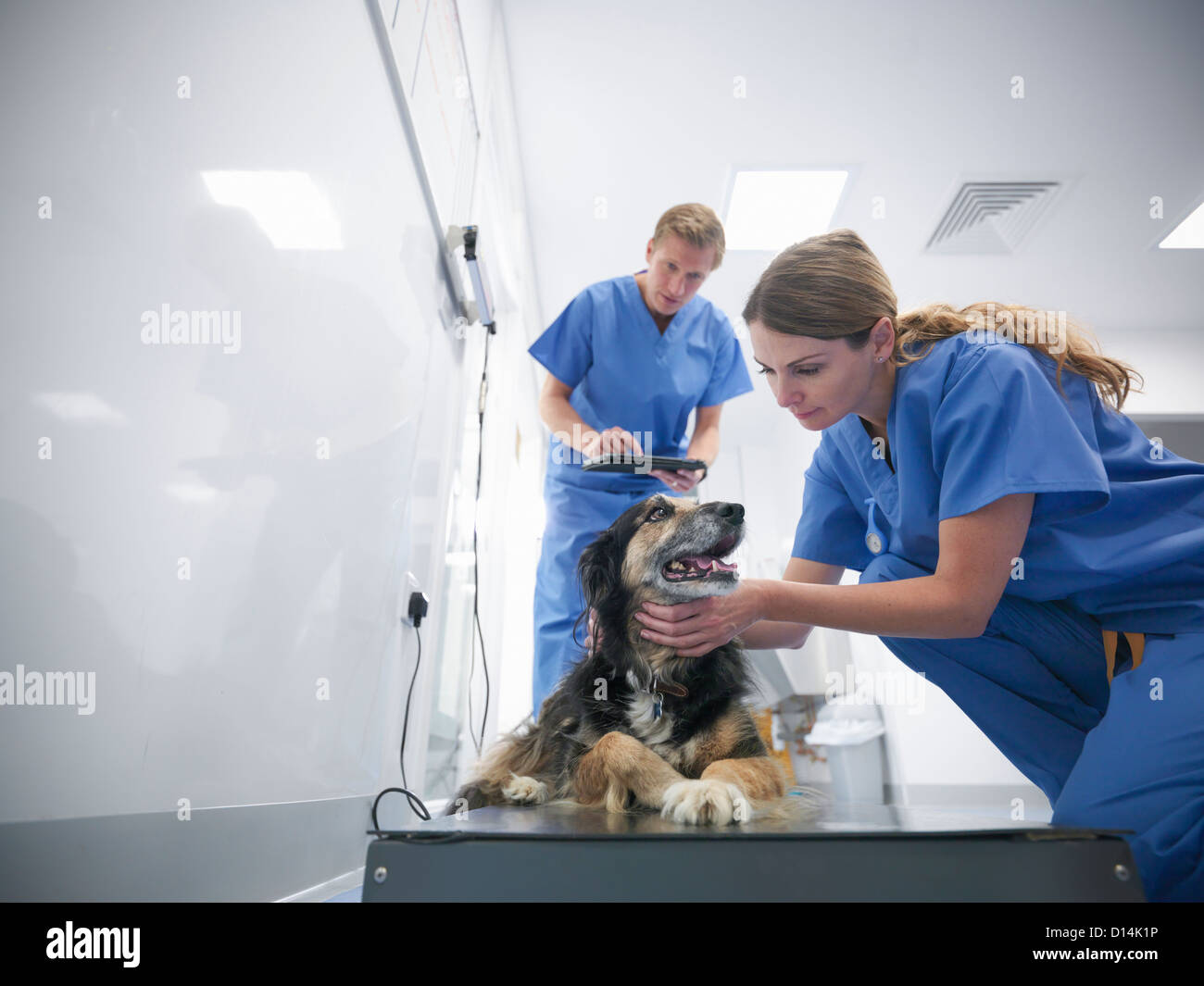 Veterinarians examining dog in office - Stock Image